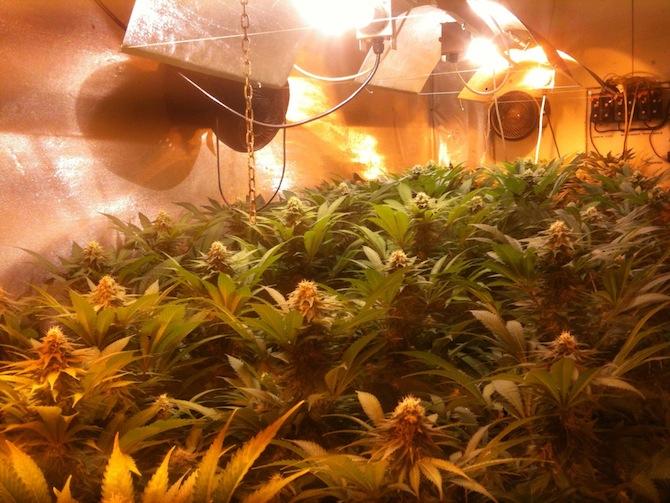 consejos para plantar marihuana de interior gu a de