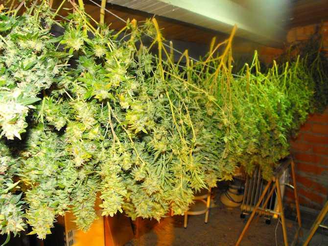 Plantas cannabis secando colgadas.