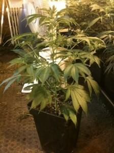 Planta en tiesto 7 litros