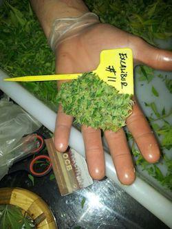 cortar planta cannabis