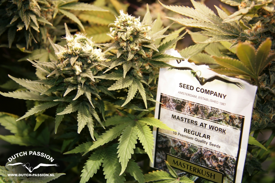 marihuana indica pura