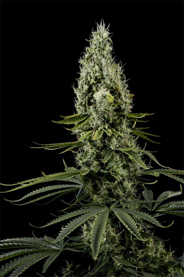 marihuana sativa pura