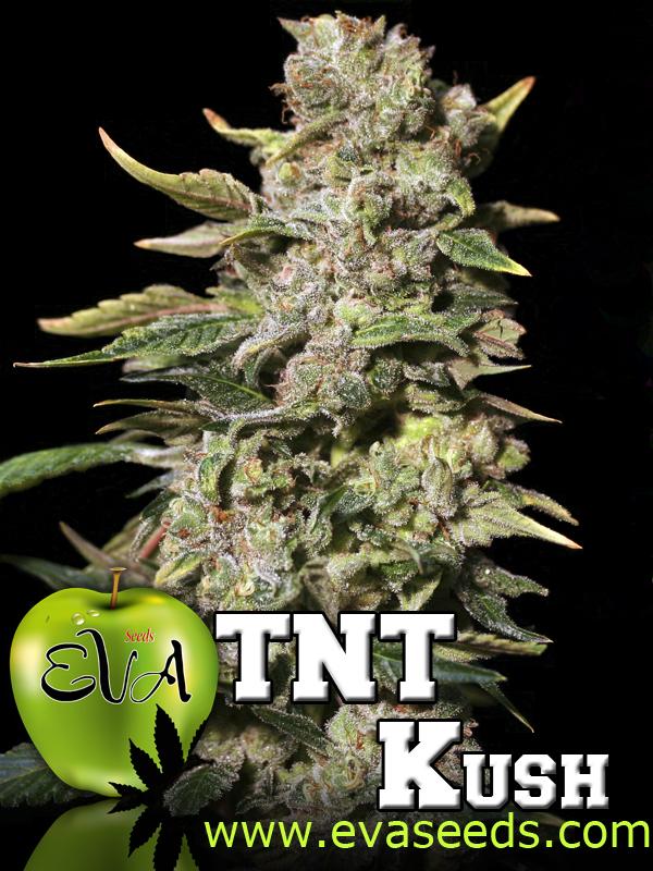 semillas de marihuana indicas
