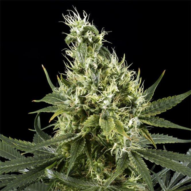 tipos de marihuana sativa