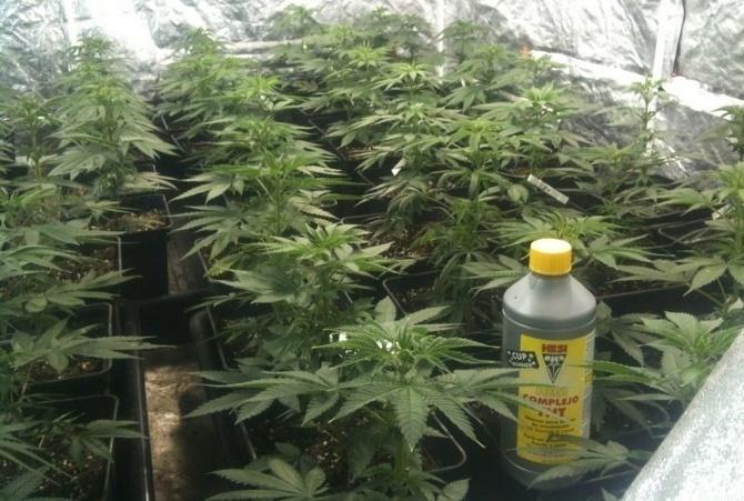 cultivo de marihuana interior gu a de cultivo de marihuana