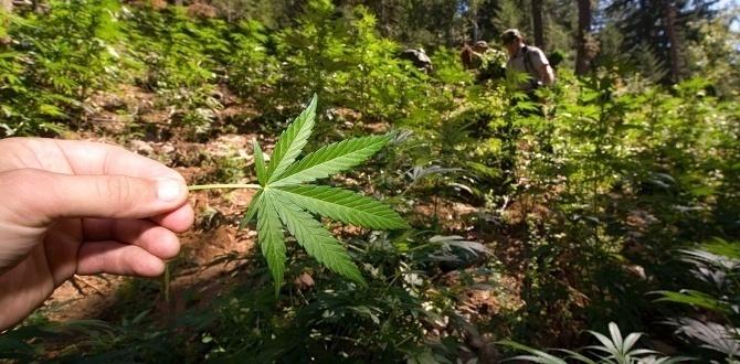 puerto rica legaliza la marihuana medicinal
