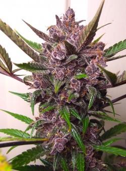 Plantas de marihuana autofloreciente