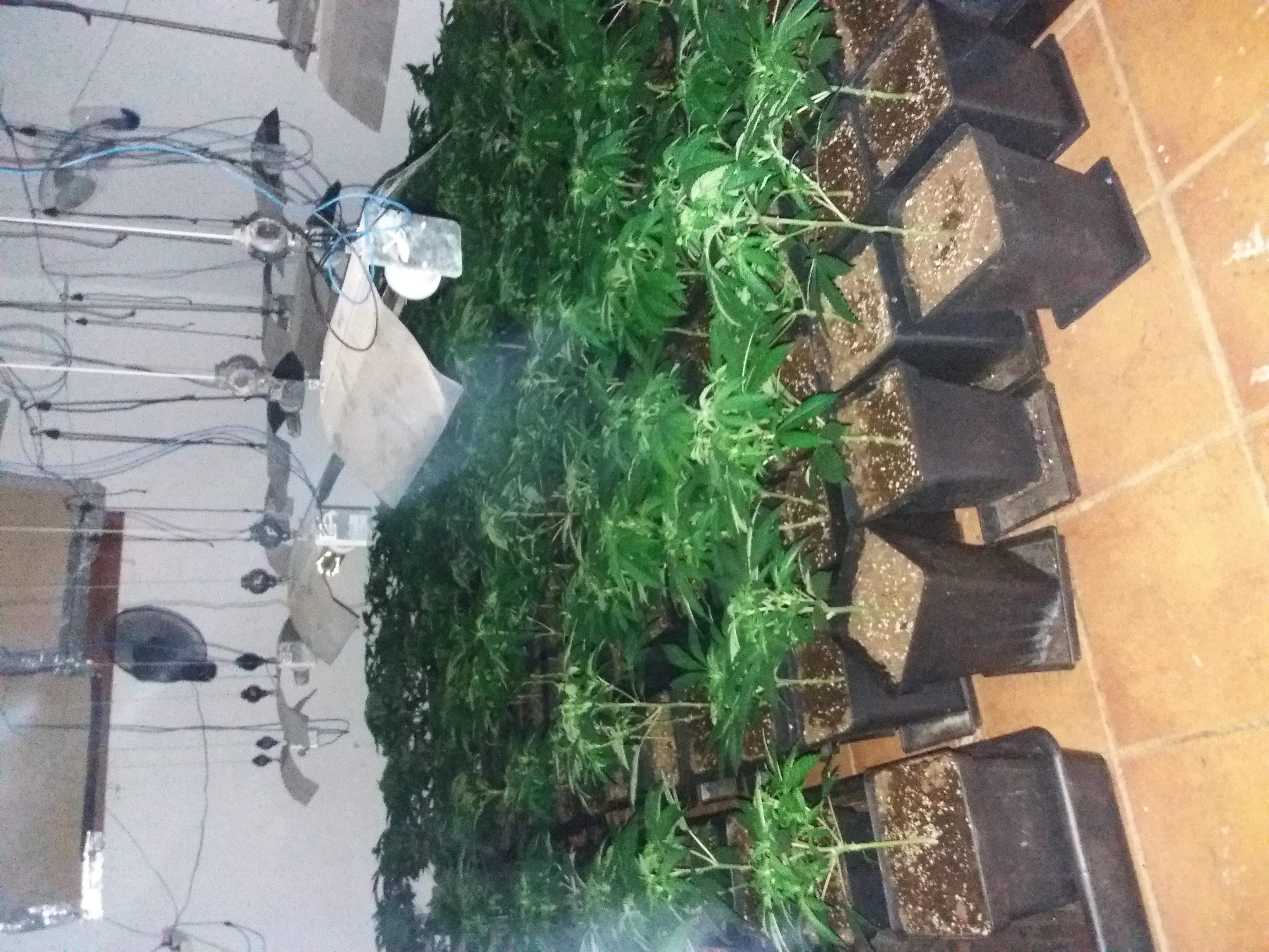 Como hacer cogollos de marihuana gigantes - Guía de cultivo de marihuana