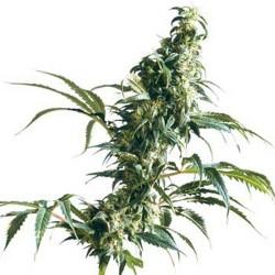 planta sativa