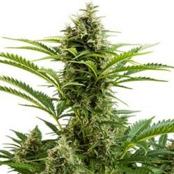 como_cultivar_marihuana_para_novatos
