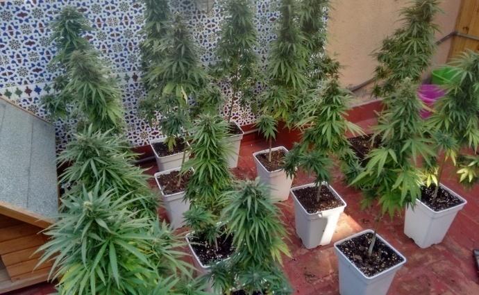 como_cultivar_una_planta_de_cannabis