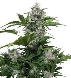 marihuana_guerrilla_de_cannabis