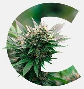 terpenos-cannabis