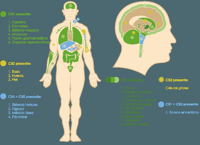 Receptores CB1 CB2 cuerpo