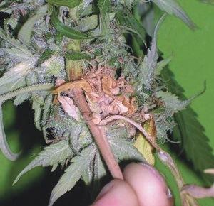 botrytis cannabis