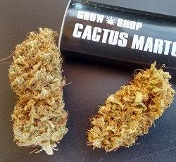 fiche big lavender cactus