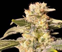 cannabis-tnt-kush-cbd