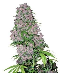 cannabis variété rapides
