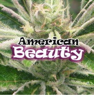 American Beauty Feminizadas
