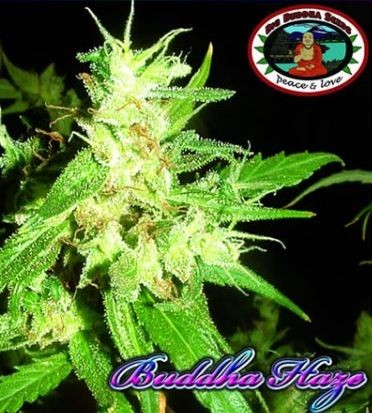 Buddha Haze Feminizada