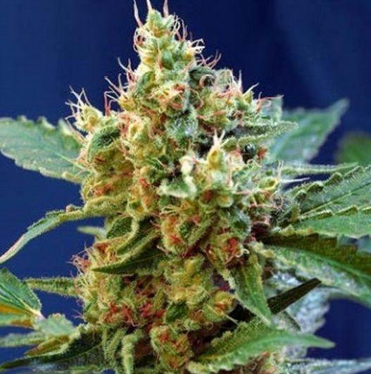 Cream Mandarine Xl Autofloreciente