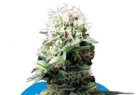 Semillas Medicinales Royal Queen
