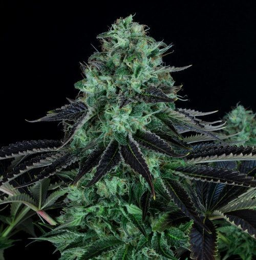 Darkstar Semillas Th Seeds