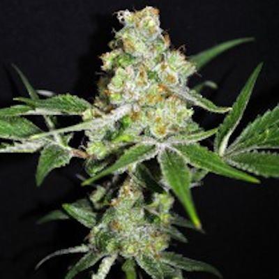 Mix semillas medicinales