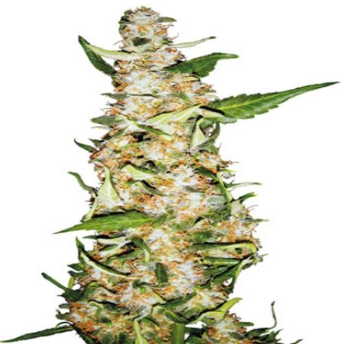 Skunk 1 Automatic Autoflorecientes