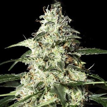 Skunk Autoflorecientes Greenhouse