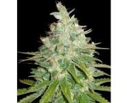AFGAN KUSH X BLACK DOMINA World Of Seeds