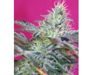 Auto Sweet Cheese Feminizada