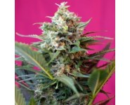 BIG DEVIL XL Sweet Seeds