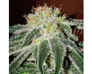 BLACK RUSSIAN Delicious Seeds