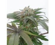 BUBBA KUSH 2.0 Humboldt Seed