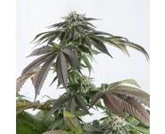 Bubba Kush semillas medicinales CBD