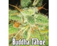 Buddha Tahoe Feminizadas