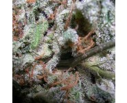CAMPEONAS INDICAS Paradise Seeds
