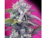 CREAM MANDARINE Sweet Seeds