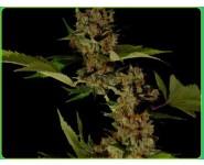 FREE TIBET Soma Seeds