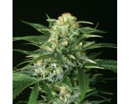 Semillas Strawberry Amnesia