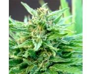 GREEN HAZE X THAI Ace Seeds