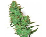 Jack Herer Regulares