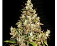 Monster Feminizada Eva Seeds