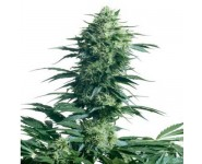 MOTHER'S FINEST Sensi Seeds