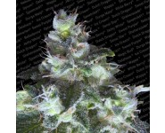 ORIGINAL WHITE WIDOW Paradise Seeds