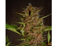PAKISTAN CHITRAL KUSH Ace Seeds
