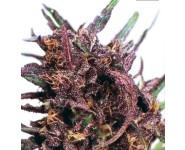 Purple#1 Feminizadas y Regulares