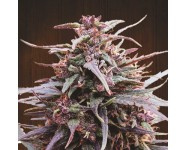 PURPLE HAZE X MALAWI Ace Seeds
