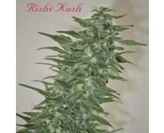 Rishi Kush Regulares
